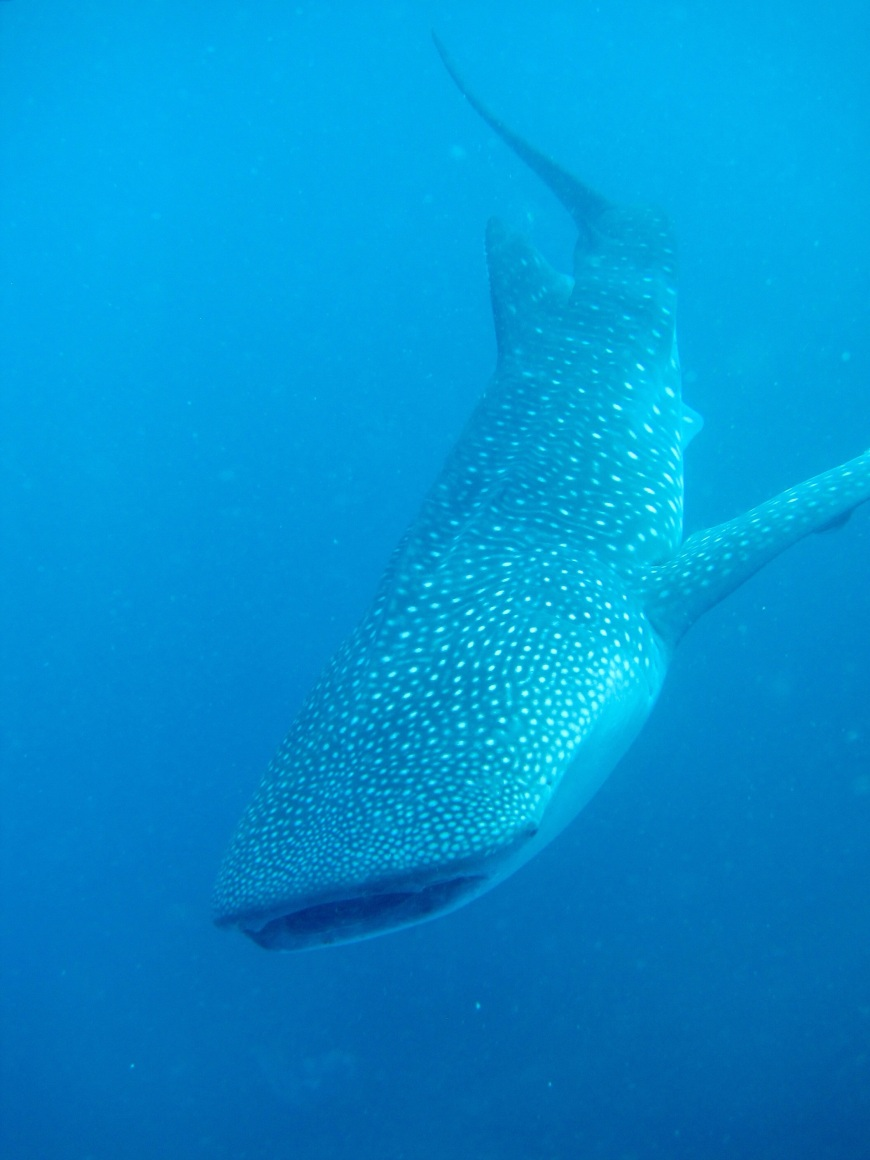 Full body portrait of a whale shark taken in Oslob, Philippines