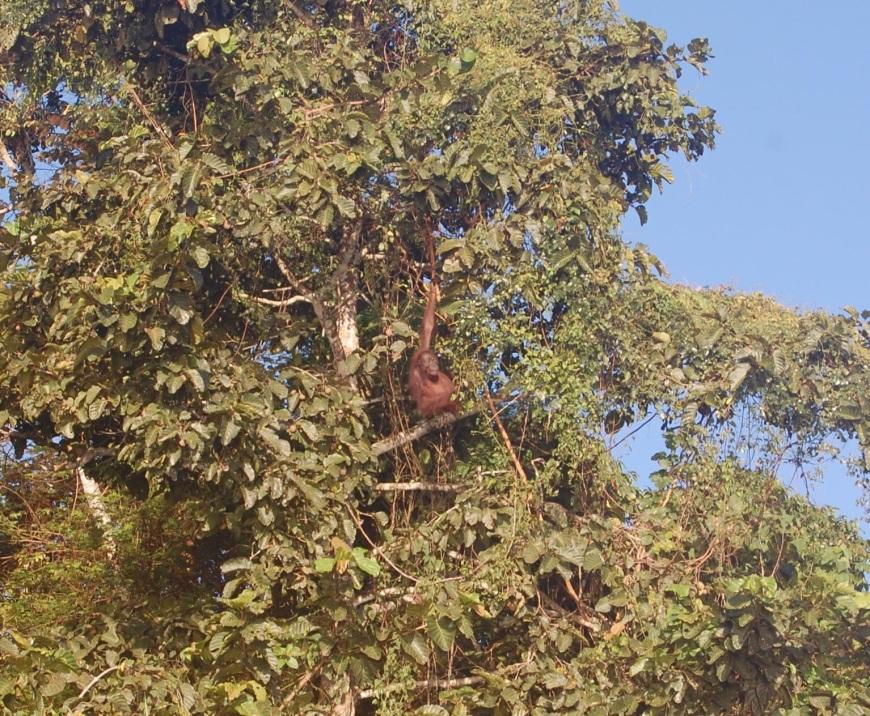 Wild Oranguran female in Boreno eating breakfast near the river