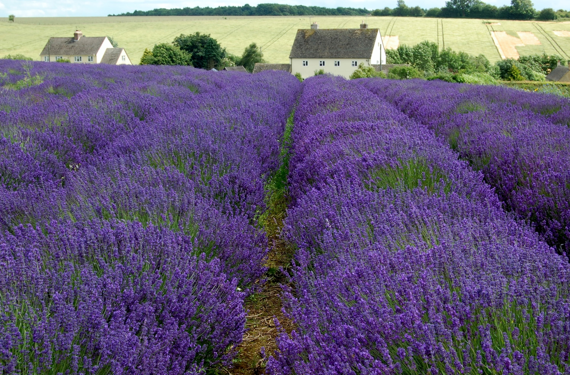 Lavender fields looking down to Cotswold farm house